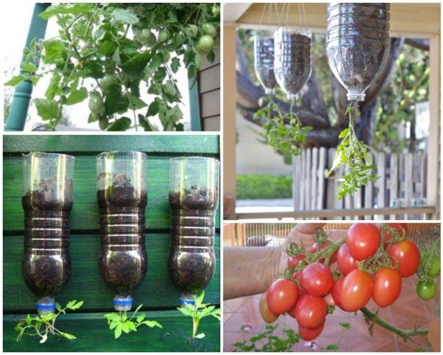 Vegetales que pueden cultivarse en macetas invertidas - Tomates cherry en maceta ...