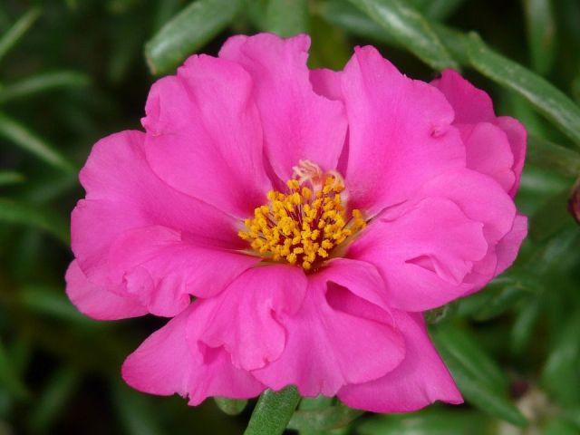 musgo-rosa