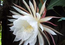 flor-dama-de-noche