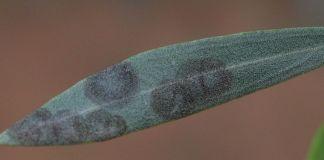 repilo-hojas-olivo