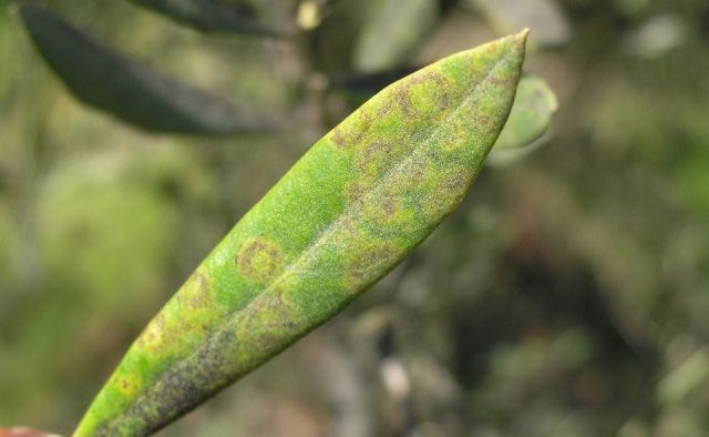 repilo-olivo