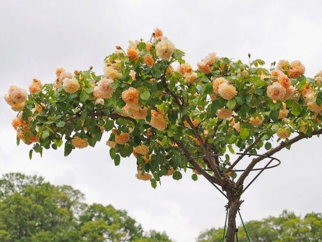 rosa-arbol