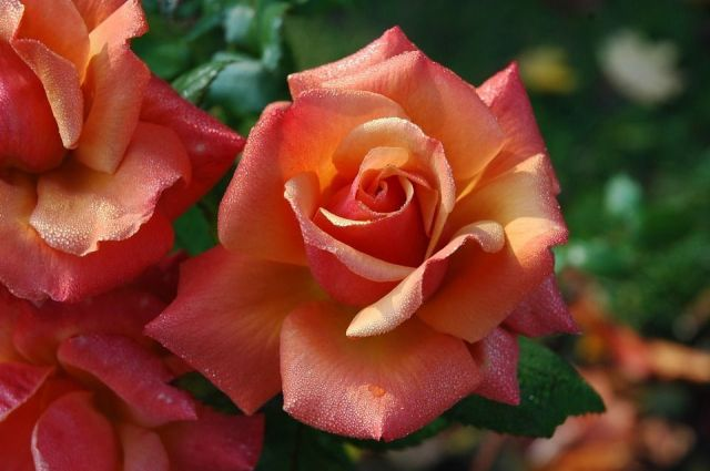 rosa-coral