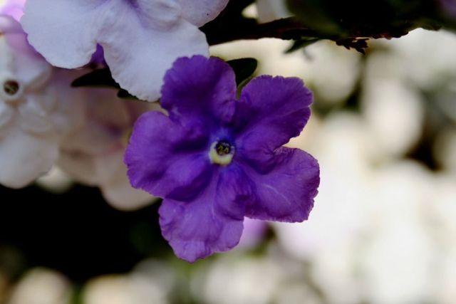 Brunfelsia pauciflora arbusto