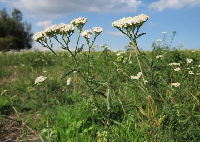 Achillea millefolium1