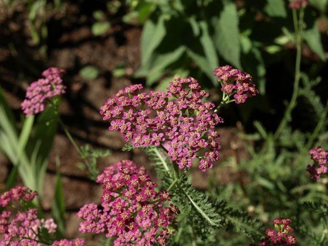 Achillea millefolium2