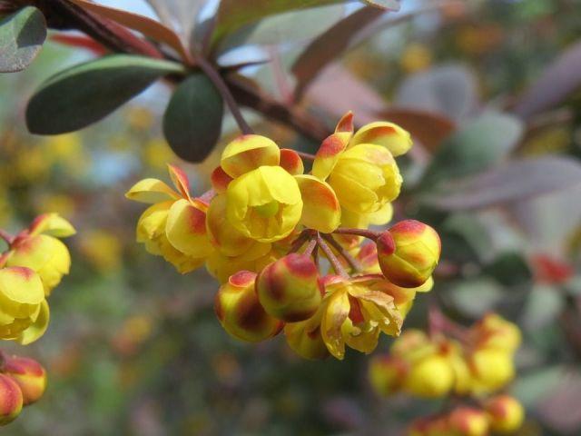 Berberis flores amarillas