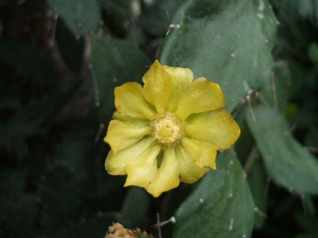 Opuntia brasiliensis cactus