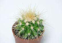 Echinocactus grusonii cactus