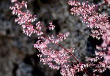 Heuchera micrantha planta