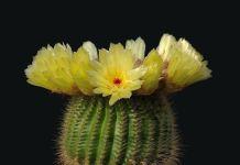 Notocactus