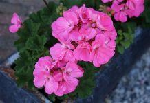 Planta florecen