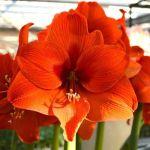 Amaryllis Orange Desire