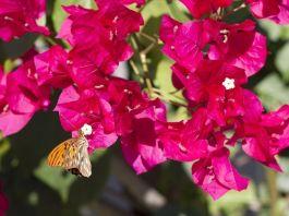 Buganvilla - Plantas trepadoras con flor