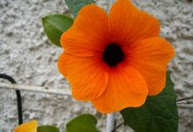 Ojo de poeta planta