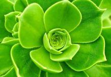 Aeonium undulatum suculenta
