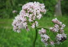 Valeriana officinalis planta