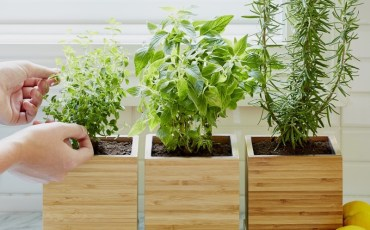 Harvesting from a Herb Garden