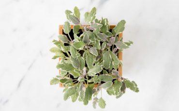 tri-color sage plant