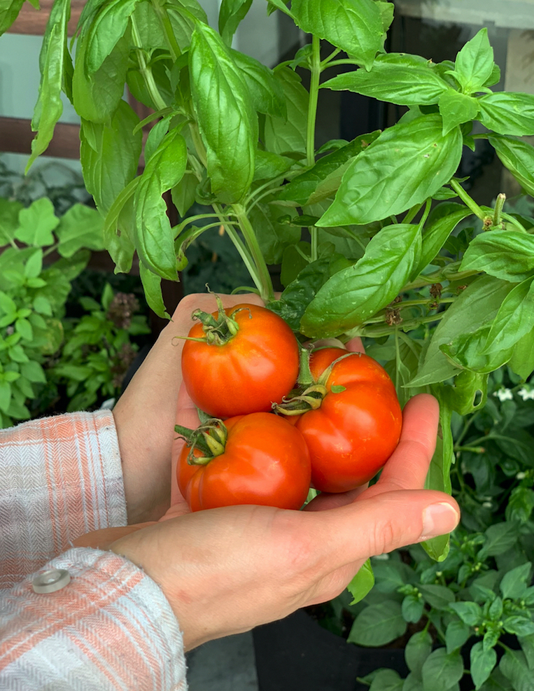 Tomatoes & Basil Plant