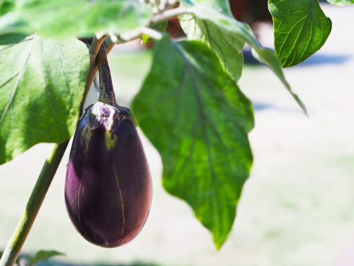 Eggplant Growing in a Container Garden