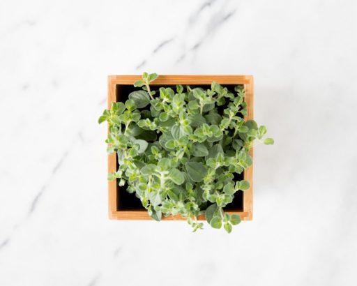 Oregano Herb Garden