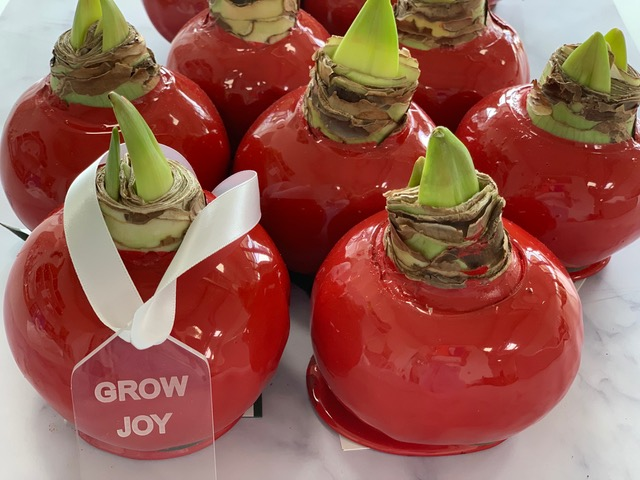 Red Amaryllis Corporate Gift Giving for 2020