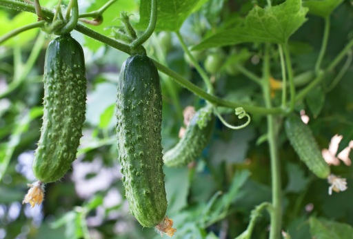 Cucumber Growing From Vine