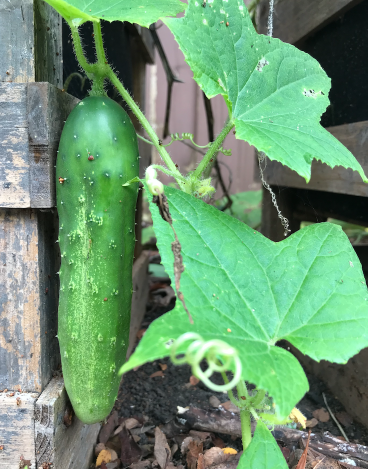 Growing Cucumbers In A Container Garden
