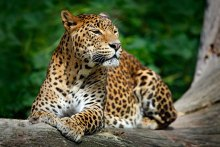 Sri-Lankan-Leopard-Yala-National-Park-Sri-Lank-Day-Tours-GARI-Tours