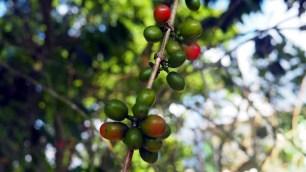 spracovanie kávy, Jarabacoa