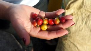 čerstvo zozberané kávové plody