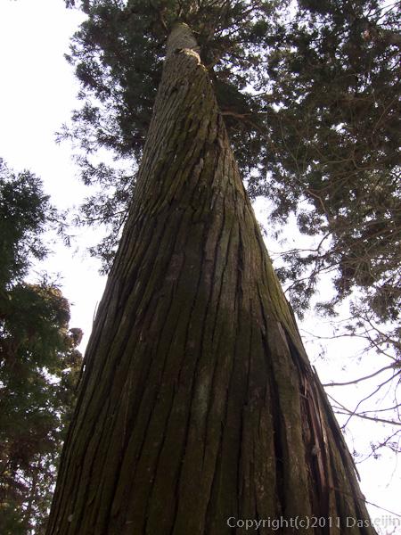 120213世界遺産平泉・中尊寺のねじれた杉