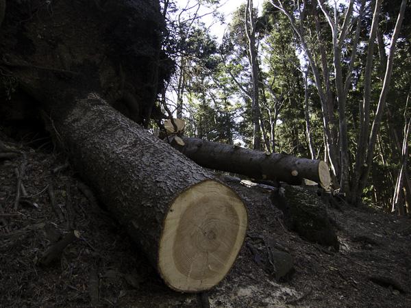 111204丹沢・登山道の倒木処理