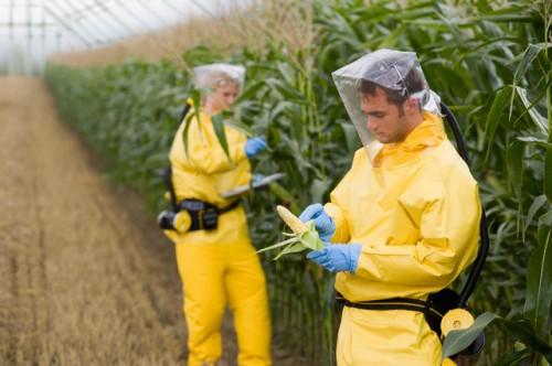 GMO wheat = Liver damage!
