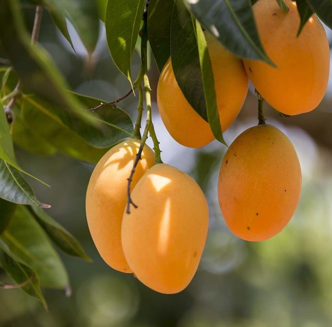 mangoes hanging from a branch on a tree ,mango myths