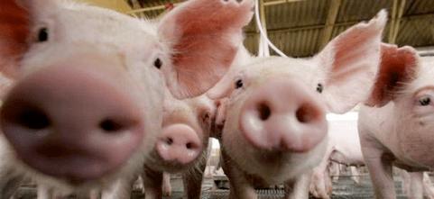 Chi nutrirà i maiali cinesi?