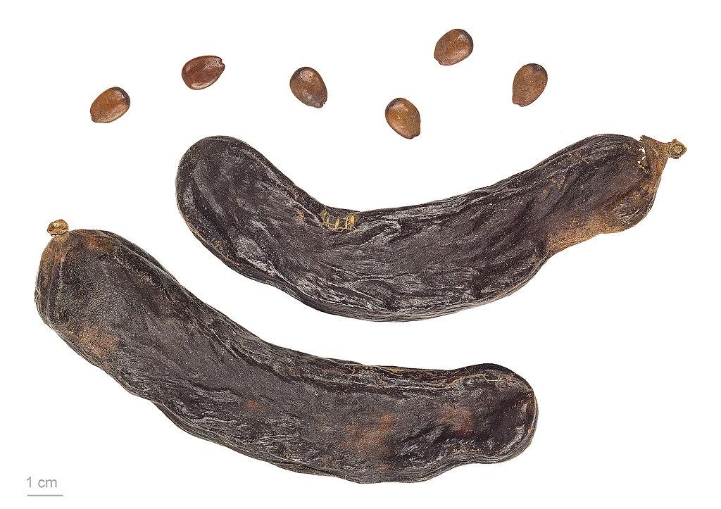 Il carrubo, Ceratonia siliqua