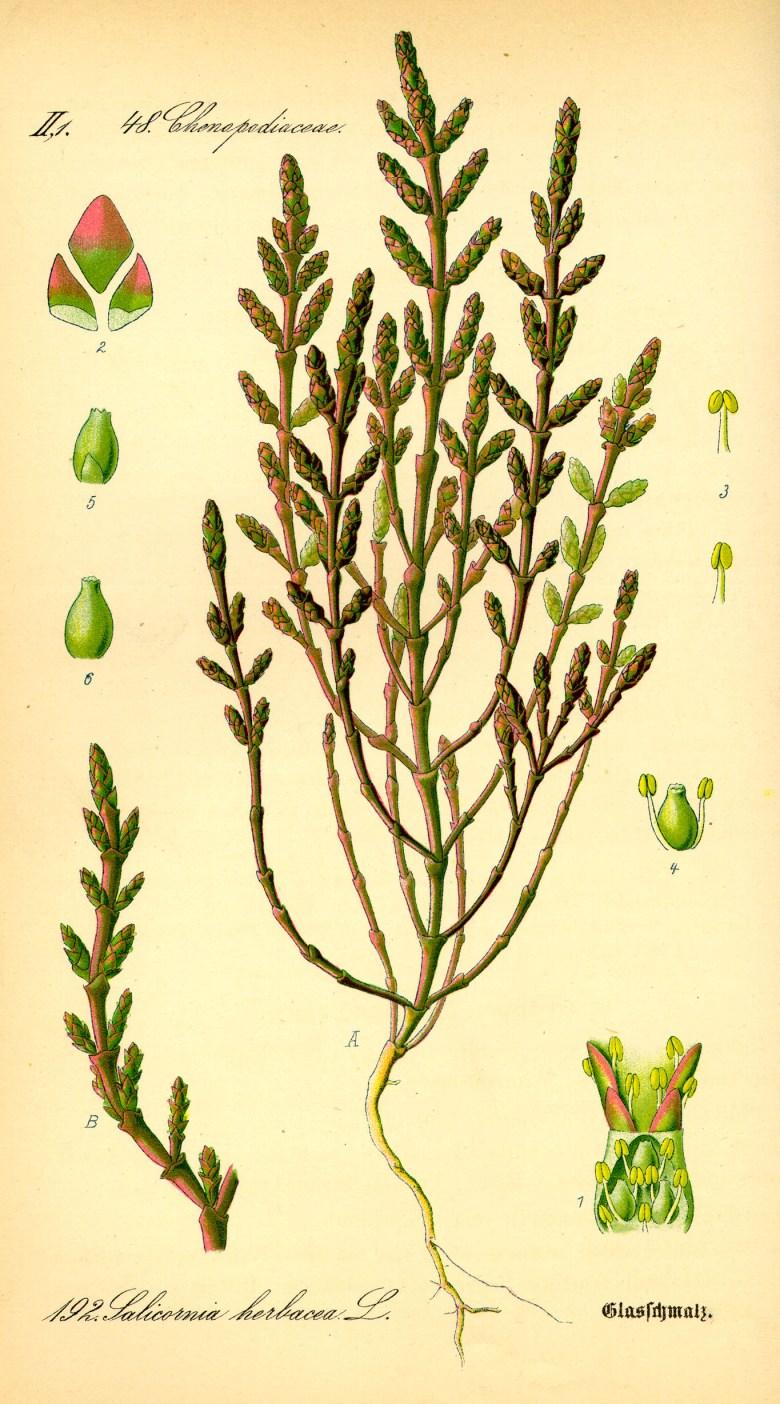 Salicornia_europaea