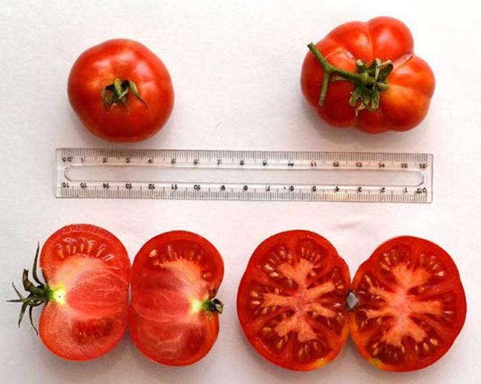 Recuperato 'Varrone', pomodoro creato da Strampelli