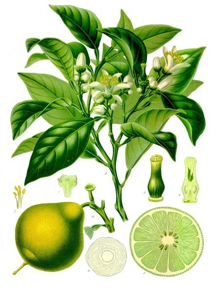 Bergamotto Citrus × bergamia