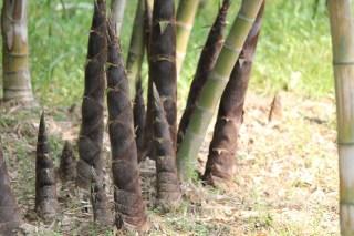 Germogli Bambù