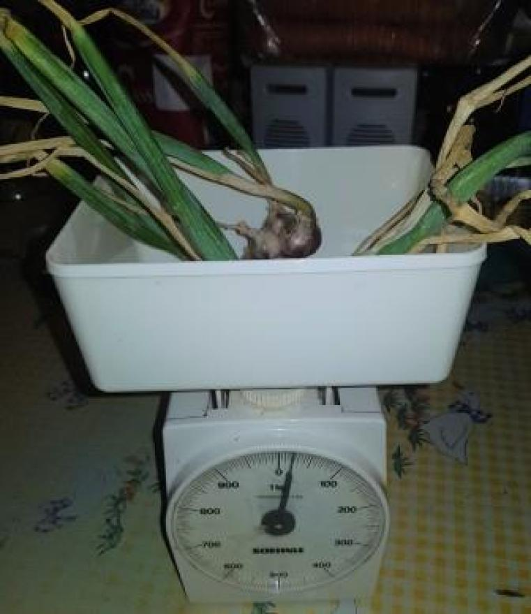 Peso Cipolle