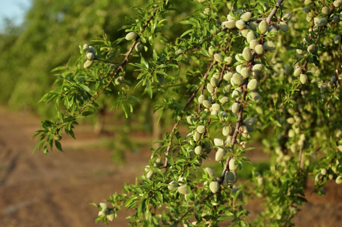 India emerging as biggest importer of Almonds from USA