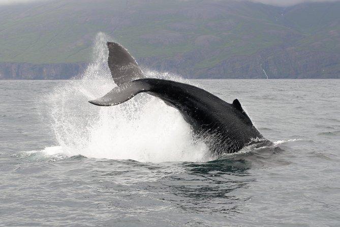 Whale breaching on tour near Husavik.
