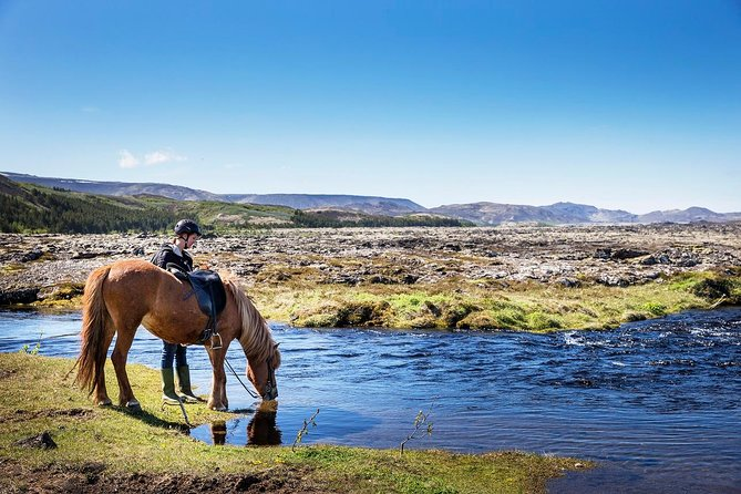 Icelandic horse drinking from stream during winter riding tour