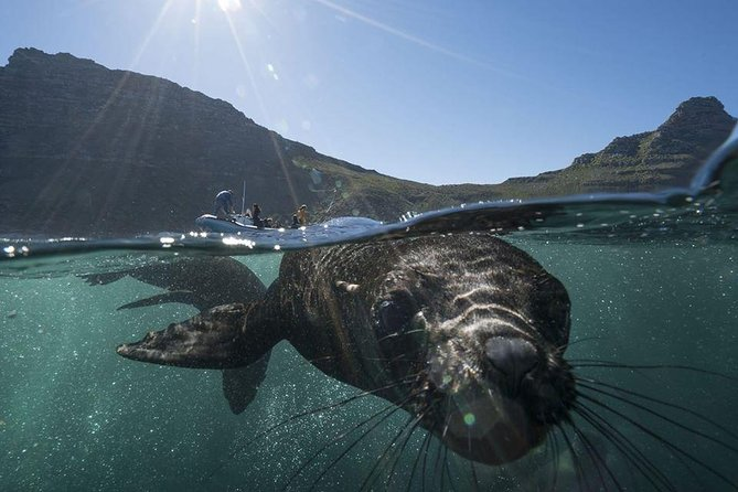 A seal inspecting a snorkeler under the water near Cape Town.
