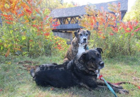 Dogs by a covered bridge in New England