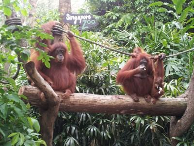 Singapore Zoo Monkeys