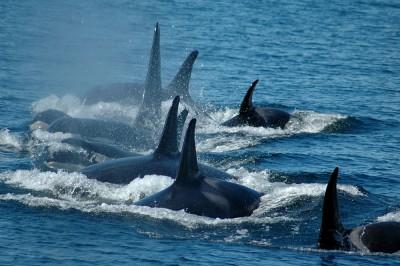 A pod of Orca killer whales